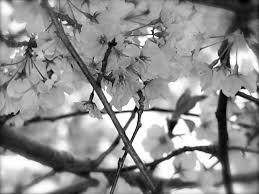 white cherry blossom black and white cherry blossoms 2 by diane paulson
