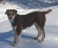 6 month australian shepherd aussie siberian dog breed information