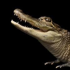 american alligator national geographic