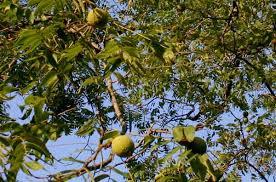 الأشجار الحرجية المثمرة:الجوز Juglans Regia Images?q=tbn:ANd9GcRP85eL8uXbwImkCarBhktwQ7YPuNIblqr8omr3yAI5ojZVWwMJ