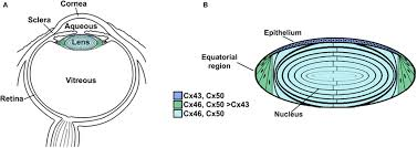 Anatomy Of The Eye Anatomy Of The Eye A And Structure Of The Lens B A Diagram