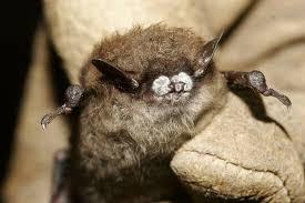 the little brown bat u0027s mighty talent smart news smithsonian