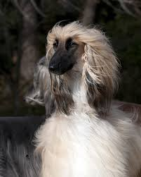 afghan hound times exquisite