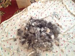 australian shepherd with short hair it u0027s summertime how to shave your dog at home