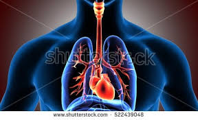 Human Anatomy Respiratory System The Respiratory System Stock Images Royalty Free Images U0026 Vectors