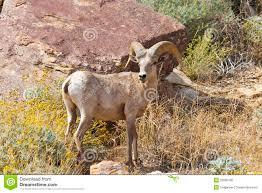 anza borrego desert desert bighorn sheep in anza borrego desert stock photo image