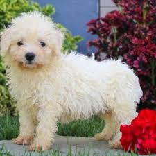 bichon frise x jack russell bichon frise purebred puppy litters for sale in hoobly classifieds