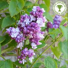 lilac trees u0026 bushes for sale syringa ornamental trees ltd