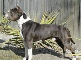 american pitbull terrier akc american staffordshire terrier stud dog listings at the amstaff