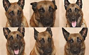 belgian shepherd stomach cancer yes you can tell from his face what your dog is feeling popular