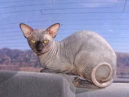 New Sphynx – Só um gato feio? – VivoVerde #XK84