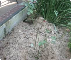 Snake Holes In Backyard Armadillo Burrows Photos Of Tunnels And Holes