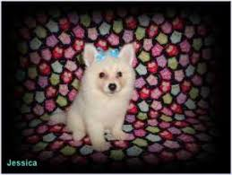 american eskimo dog chicago american eskimo dogs for sale ads free classifieds