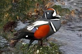 14 duck species mnn nature network