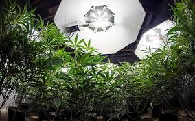 Plant Lights How To Choose by Cannabis Can Show How To Grow