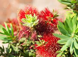 native australian flowering plants red bottlebrush flower australian native plant callistemon little
