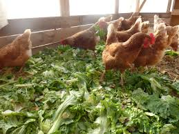 Can I Raise Chickens In My Backyard Chicken Coops That Work 5 Brilliant Ways Abundant Permaculture