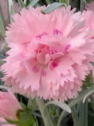dianthus flower dianthus candy floss bluestone perennials