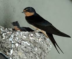 Barn Swallow Nest Pictures 47 Best Barn Swallow Images On Pinterest Barn Swallow Children