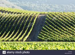pinot noir wine grape vines on trellises santa barbara county