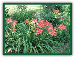 daylilies for sale our daylily plants and sales the cats meow daylily garden