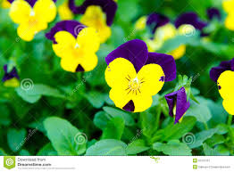 Flowers In Garden Closeup Of Colorful Pansy Flowers In Garden Stock Photo Image