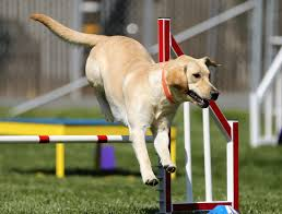 dog agility equipment selection guide for proper training hellow dog