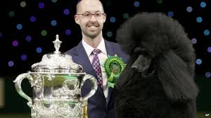 crufts australian shepherd 2014 crufts u0027 best in show won by poodle named ricky bbc news