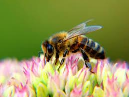 bigstock honey bee on a flower 72446224 jpg format u003d2500w