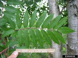 isu forestry extension tree identification american mountain