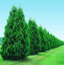 evergreen trees dreams meaning interpretation and meaning