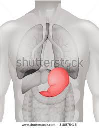 Human Belly Anatomy Stomach Ulcer Human Body Illustration Stock Vector 316731629