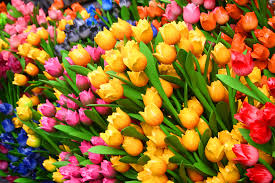 Images Of Tulip Flowers - tulips images wallpapers 54 wallpapers u2013 hd wallpapers
