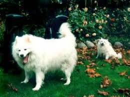 american eskimo dog vancouver about the breed american eskimo dogs history breed standard