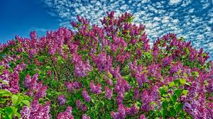 purple lilacs in the spring wallpaper flower wallpapers 53427