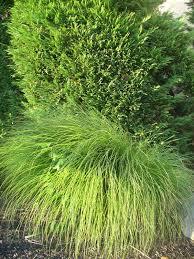 ornamental grass 2 help identify my photos