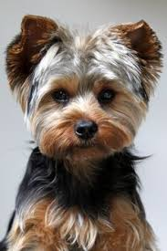 haircuts for yorkie dogs females i love the colors in this yorkie s hair yorkie haircuts