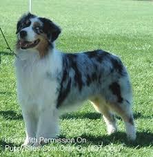 australian shepherd virginia australian shepherd dog breeders websites puppysites com