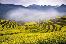 flower places 10 places to enjoy canola flowers in china 1 chinadaily cn