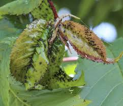 Pictures Of Tiny Red Bugs by Plum Tree Bugs Learn About Plum Tree Insect Problems And Treatment