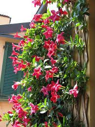 Mandevilla Plant Diseases - dipladenia u0026 mandevilla growing guide differences between the