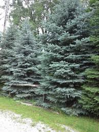 blue spruce trees how to grow colorado blue spruce growing colorado blue spruce trees
