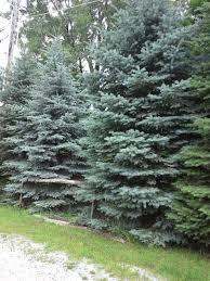 plants native to colorado how to grow colorado blue spruce growing colorado blue spruce trees