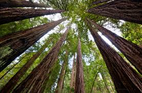 redwood trees may help battle climate change study finds huffpost