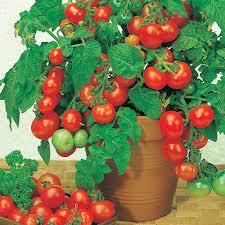 tomato u0027vilma u0027 thompson u0026 morgan