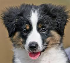 australian shepherd mix breeds border collie australian shepherd mix puppies 84 favorite dogs