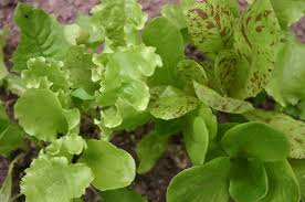 pinetree winter lettuce mix