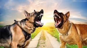how to groom a belgian sheepdog german shepherd vs belgian malinois difference explained youtube
