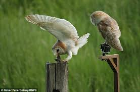 What Does A Barn Owl Look Like Owls About That Pair Of Nesting Barn Owls Pose Up Together On