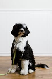 Dog Breeds That Dont Shed Uk 25 best portuguese water dog ideas on pinterest spanish dog